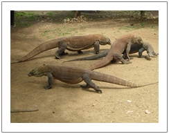 Komodo Dragon, tour package to Komodo island 3 days 2 nights